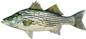 Sushi Sushi - Hybrid Striped Bass